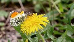 Papillon Aurore sur fleur de pissenlit