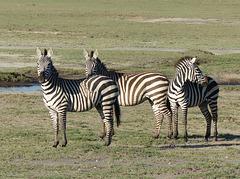 Zèbres de Tanzanie