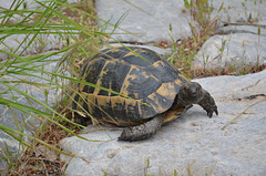 Olympos, The Turtle