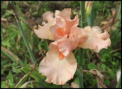 Buisson de Roses -001