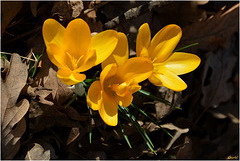 Mon trio de crocus jaunes ...