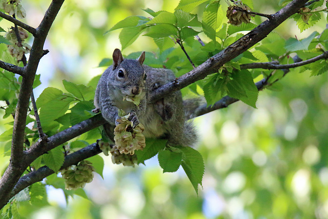 Snacking on the linden tree (Explored)