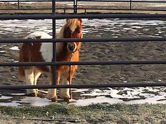 Tiny horse, Thunder, at vet clinic