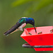 EF7A8447 Hummingbird