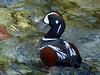 Harlequin Duck / Histrionicus histrionicus