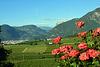 Rote Rosen und Blick über die Weinberge nach Bozen
