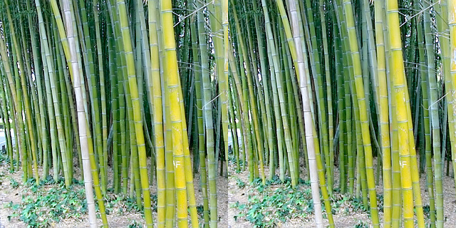 LA County Arboretum bamboo stereoscopy 3