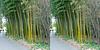 LA County Arboretum bamboo stereoscopy 2