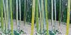 LA County Arboretum bamboo stereoscopy 1