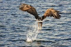 Sea eagle (PiP)