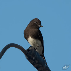 The Darling Black Phoebe! (+1 inset!)