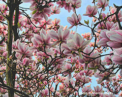 Magnolia,Groningen stad,the Netherlands,Europe