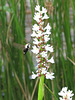 Snowberry clearwing moth (Hemaris diffinis) on Pontederia flowers.