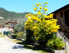 Mimosenbaum. ©UdoSm