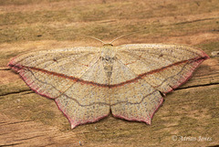 Timandra comae (Blood-vein moth).