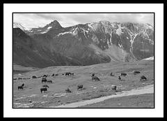 Vaches au pays des marmottes