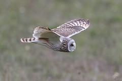 Hibou des marais Asio flammeus - Short-eared Owl  2019