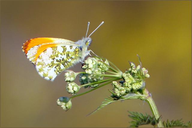 Orange tip ~ Oranjetipje (Anthocharis cardamines) ♂...