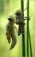 New born Four-spotted chaser ~ Viervlek Libel (Libellula quadrimaculata), 2...