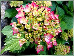 Gartenhortensie. ©UdoSm