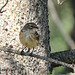 Yellow- rumped Warbler