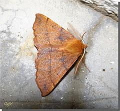Colotois pennaria mâle