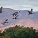 Sandhill cranes9