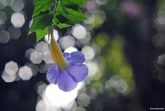 20210129-9631 Thunbergia erecta (Benth.) T.Anderson