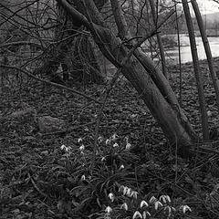 Derbyshire Wye - Below Meaden Bridge - Last of the Snowdrops