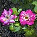 "Grandiflora Rose ""Rainbow Sorbet"" – Botanical Garden, Montréal, Québec"