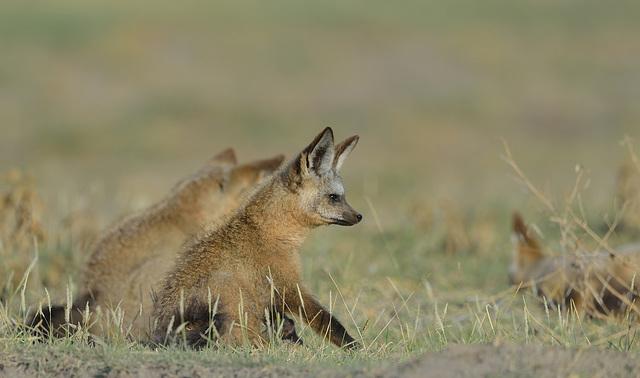 Renard à oreilles de chauve-souris ou Otocyon