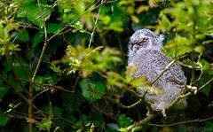 Chouette hulotte Strix aluco - Tawny Owl  2018