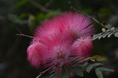Israel, Eilat, The Botanical Garden, The Flower of Albizia Julibrissin