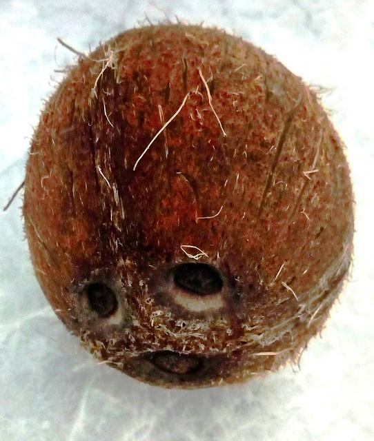 Lachende Kokosnuss