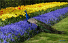Peacock in the Keukenhof, Lisse, The Netherlands...