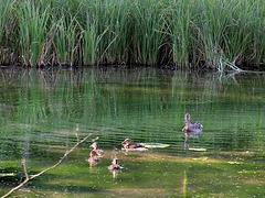 Entenfamilie am Moorsee