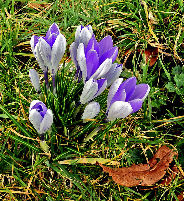 Crocus at Forde Abbey.
