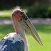 Profile of a marabou stork (Explored)