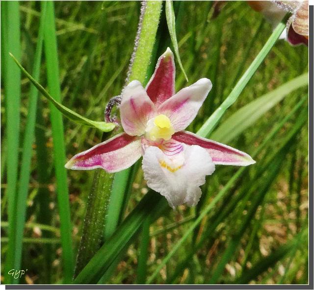 Epipactis palustris.