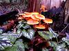 Fluweelpootje   (Flammulina velutipes)