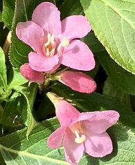 Die ersten Weigelienblüten (2cm)