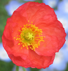 Poppy on Blue