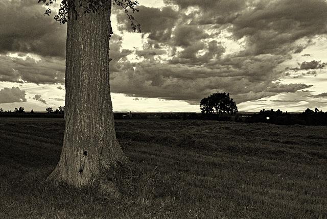 16/50 l'orme de M. Charbonneau, Mr. Charbonneau's elm tree