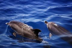 free dolphin's