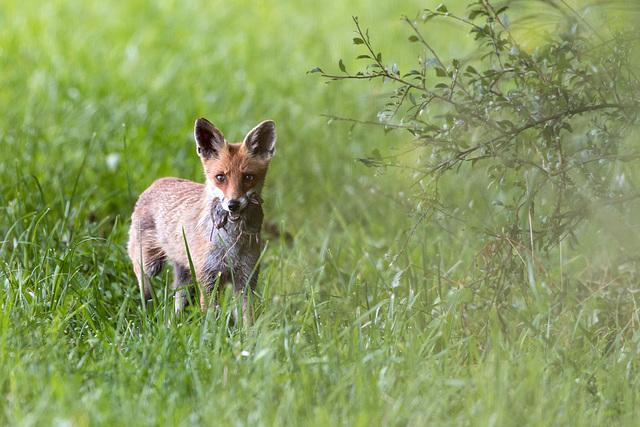 ma première photo de renard