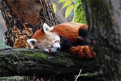 Siesta sur l'arbre en Novembre le 22
