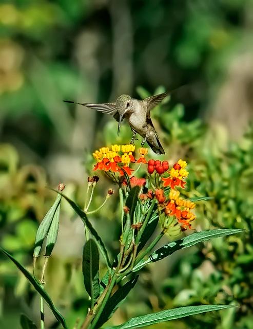 9141324dL  Hummingbird