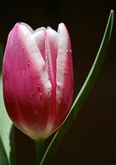 Tulip Close-Up