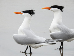 Day 4, Royal Terns / Thalasseus maximus, Mustang Island State Park