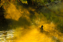 Autumn Duck